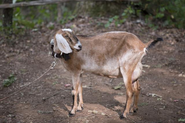 File:AMC 604 Tabitha the Goat.png