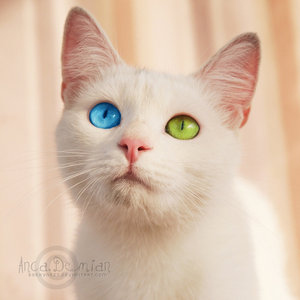 White Cat Green And Blue Eyes