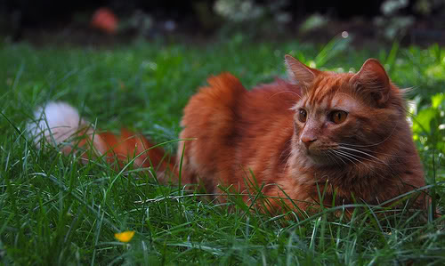Deep Ginger Cat With Green Eyes