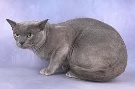 File:Blue-burmese-cat-2.jpg