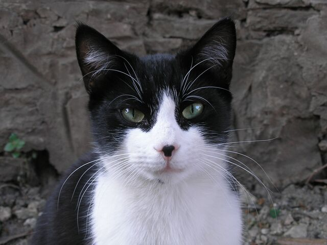 File:Black and white cat-crop.jpg