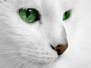 As Pollenpatch  normal is left White Cats With Red Eyes