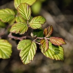 Blackberry Leaves