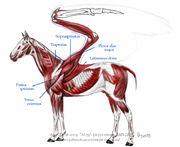 Pegasus Physiology.jpg