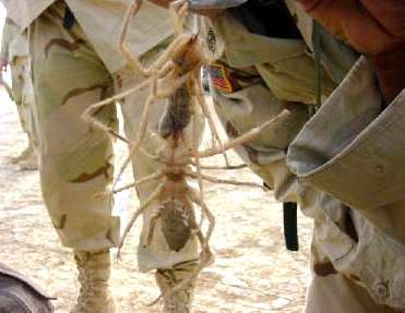 File:Camel-spider-in-iraq.jpg