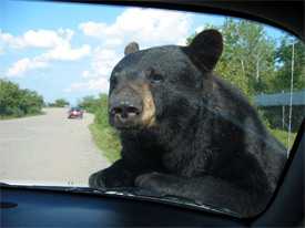 File:Bear-In-Car 275.jpg