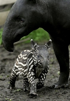 TapirBabyMother