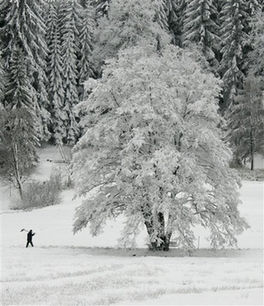 GiantSnowCoveredTree