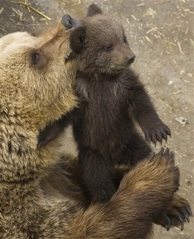 File:BrownBearAndCub.jpg