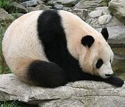 225px-Giant panda at Vienna Zoo (cropped)