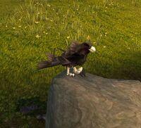 Plainshawk