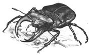 Carrionbeetle