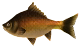 Majora's Mask 3D Fish Groovy Carp (Swamp Fishing Hole).png