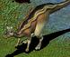 Adult Lambeosaurus