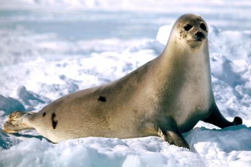 Znalezione obrazy dla zapytania foka grenlandzka wikipedia