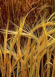 Barley(Brown)