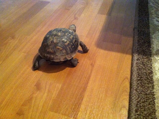 File:The turtle I am pet sitting.jpg