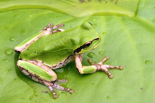 File:FrogIRL.jpg
