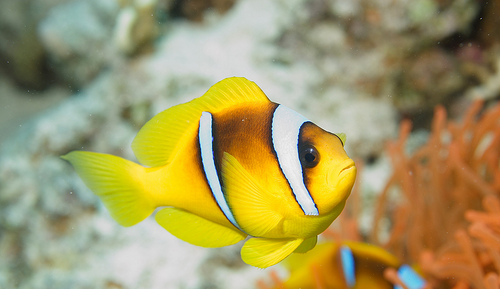 Clownfish animal crossing new leaf wiki fandom for Clown fish scientific name