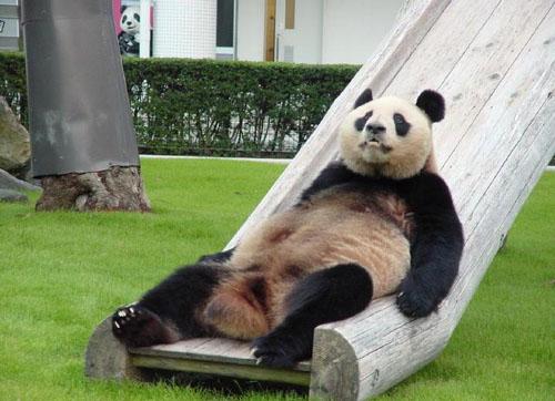 File:AnimalImages Funny Panda.jpg