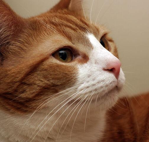 File:Cat whiskers closeup.jpg