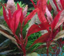 Alternanthera reineckii roseafolia