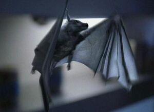 Pyrithian bat