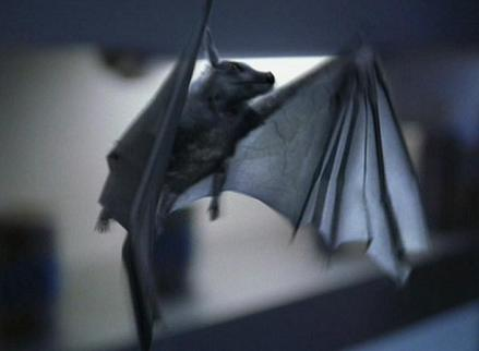 File:Pyrithian bat.jpg