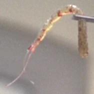 File:RegulanBloodworm.jpg
