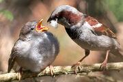 Passer domesticus -male feeding chick-8