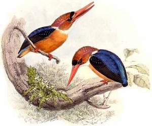 African Dwarf Kingfisher-Keulemans