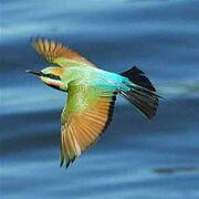 Rainbowbeeeater