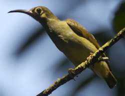 Spectacled-spiderhunter
