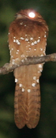 Rufous Potoo with eyeshine