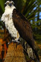 Osprey at Lake Woodruff - Flickr - Andrea Westmoreland
