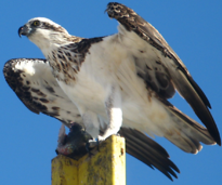 Female Pandion