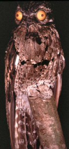 Northern Potoo with eyes wide open