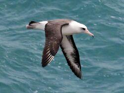 Laysan Albatross RWD2
