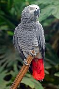 American Grey Parrot