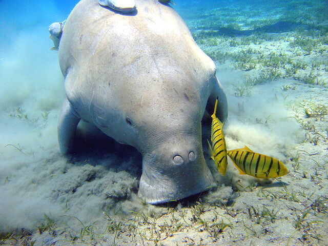 File:800px-Dugong Marsa Alam.jpg