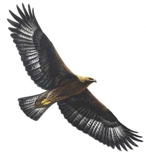 File:Roman Eagle.jpg
