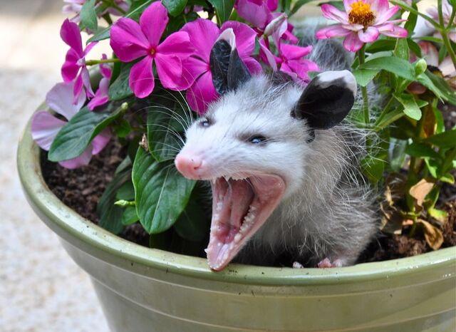 File:Angry-opossum-in-flower-pot.jpg.838x0 q80.jpg