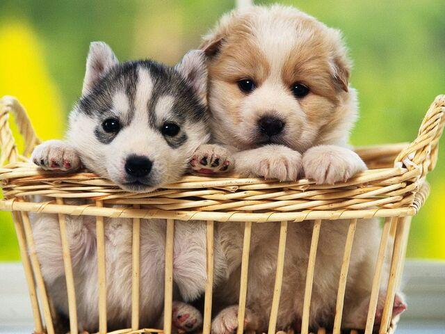 File:48286-puppies-basket-of-puppies.jpeg