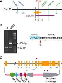 Bacterial Artificial Chromosome