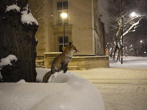 File:Fox's first snow, Malet Street,London.jpg