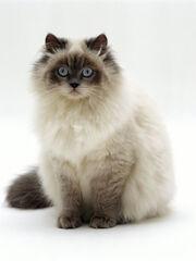 Jane-burton-domestic-cat-blue-colour-point-birman-cross