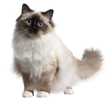 File:Birman-cat 13667652.jpg