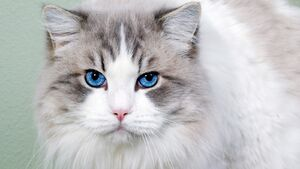 Cat fluffy blue-eyed face cute 35914 2048x1152