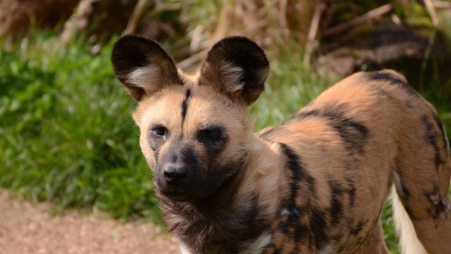 File:Other-painted-dogs-african-wild-dogs-lycaon-pictus-carnivora-canidae-african-hunting-dog-by-lakela-d4vguw6-wallpaper-pictures-fr.jpg