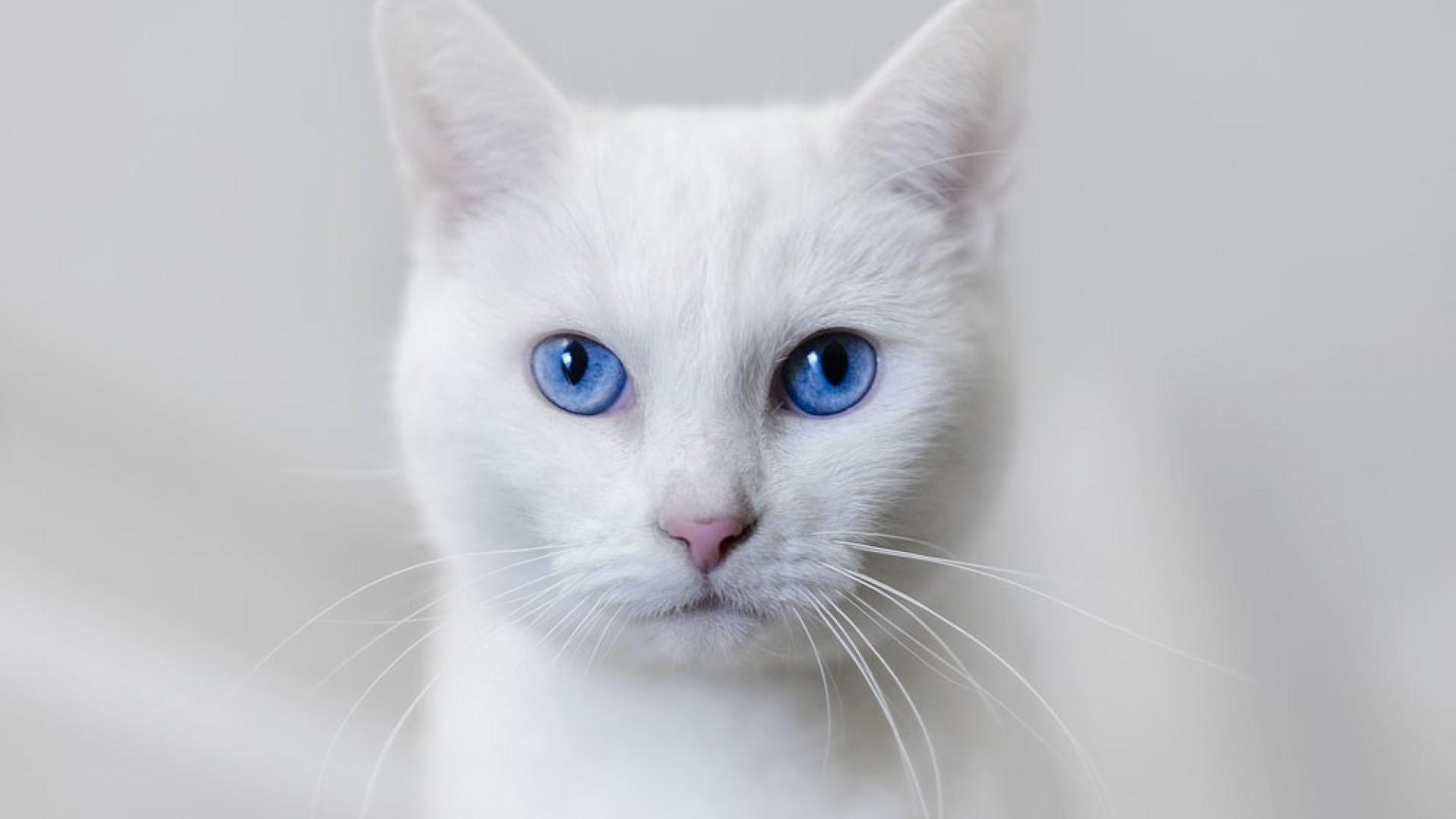 white cat, the face, silence, blue eyes, macro, hd wallpaper